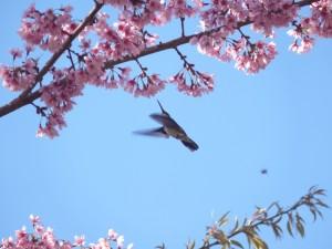 Beija-flor e Sakura